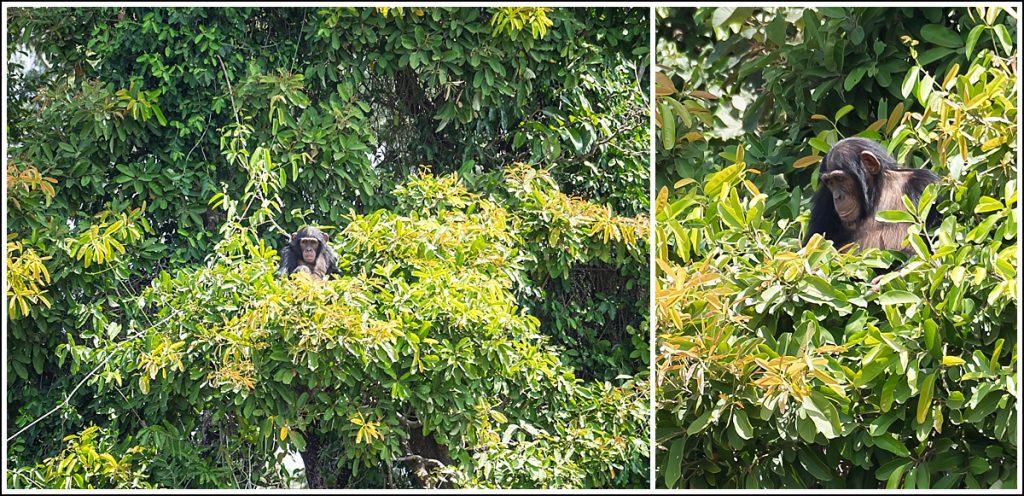 Sjimpanser ved Gambiaelven